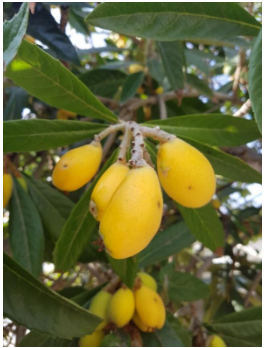 loquat fruit for recipe