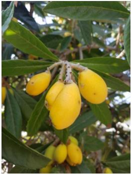 loquat fruit for recipe